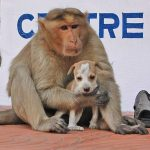 monkey-adopts-puppy-in-india_8