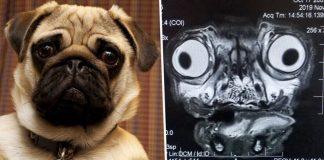 pug in MRI scan