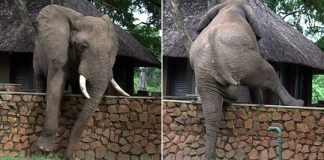 Elephant Clambered Over A Five-Foot Wall