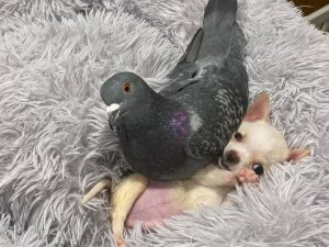 pigeon and chihuahua