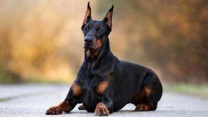 Doberman Pinscher as guard dogs