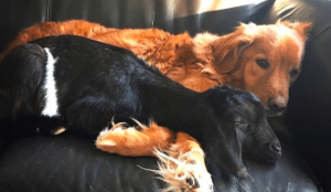 goat and dog best friends
