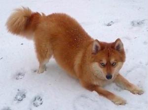 Pomeranian-Husky Mix