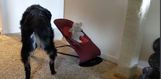 Dog Borrowing Baby's Rocker Seat To Rock Her Toy