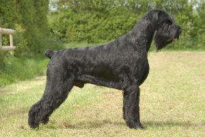 Giant Schnauzer guard dogs