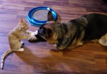 dog and kitten friendship