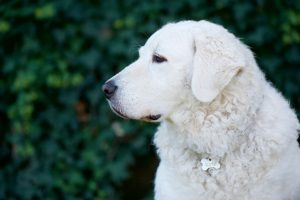 Kuvasz guard dogs