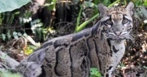 Extinct Leopard