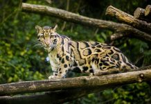 Extinct Leopards spotted