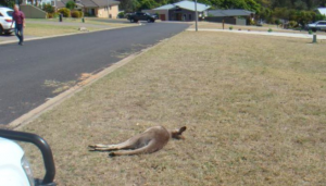 man killed 21 kangaroos