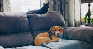 beagle and his cat best friend