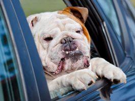 dog gets car sick