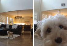 Goldendoodle Left Home Alone